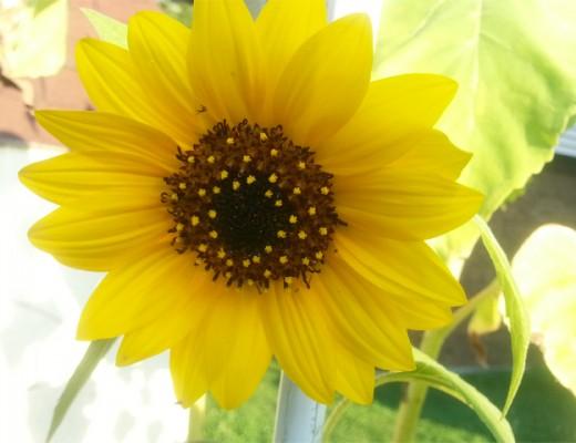 sunflowerhope