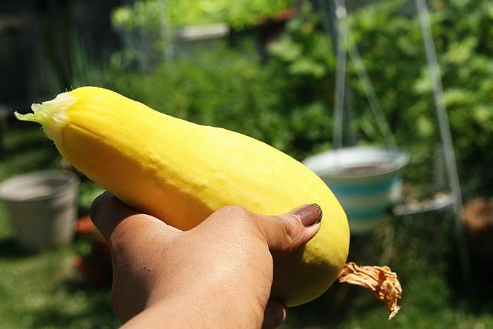 squashharvest
